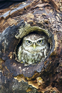 Little Owl (Athene noctua), captive, Barn Owl Centre, Gloucestershire, England, United Kingdom, Europe