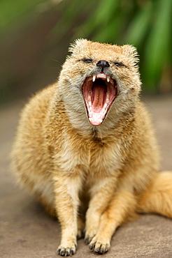 Yellow Mongoose (Cynictis penicillata) yawning