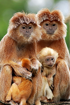 Spangled Ebony Lutung or Eastern Javan Langur (Trachypithecus auratus auratus), females with young