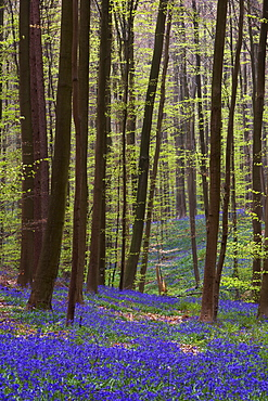 Forest with bluebells, Hallerbos, Hall, Flanders, Belgium, Europe