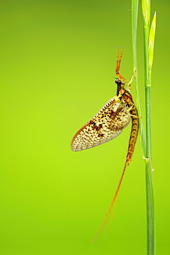 Mayfly (Ephemeroptera) on blade of grass