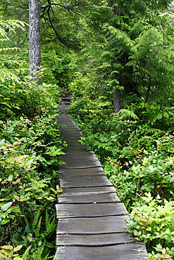 Cape Flattery Trail through temperate rainforest, Makah Indian Reservation, Olympic Peninsula, Washington, USA