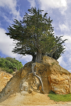 Pineapple Rock with a macrocarpaea tree, Otago Peninsula, Dunedin, South Island, New Zealand