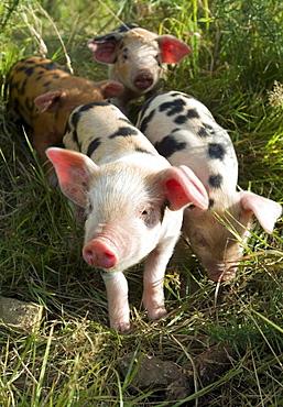 Small Domestic piglets (Sus scrofa domestica) in an organic farm, organic pigs