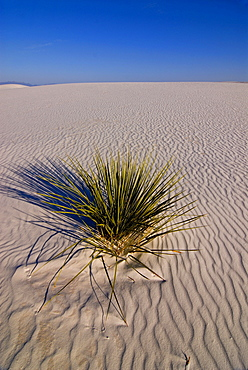 Yucca palm tree in the White Sands National Monument, New Mexico, USA, America