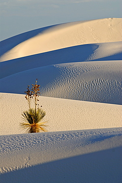 Yucca palm in the White Sands National Monument, New Mexico, USA