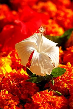 Hibiscus flower (Hibiscus)