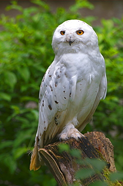 Portrait of a Snowy Owl (Bubo scandiacus)
