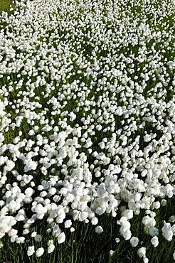 Cottongrass (Eriophorum), Torngat Mountains National Park, Newfoundland and Labrador, Canada, North America
