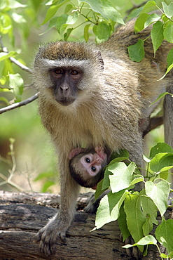 Vervet Monkey (cercopithecus aethiops) with young suckling