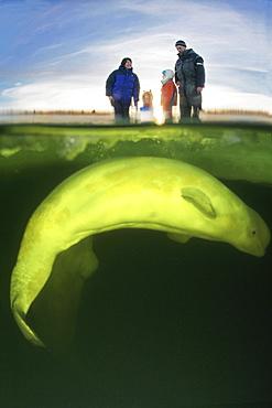 Beluga Whale (Delphinapterus leucas) under ice. White Sea, White Karelia, Russia