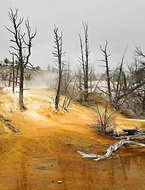 Dead trees at Angel Terrace, Upper Terraces, limestone sinter terraces, geysers, hot springs, Mammoth Hot Springs Terraces in Yellowstone National Park, Wyoming, America