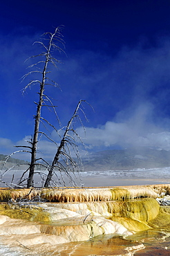 Petrified trees in New Blue Spring Terrace, limestone sinter terraces, steaming geysers, hot springs, Mammoth Hot Springs Terraces in Yellowstone National Park, Wyoming, United States of America, USA