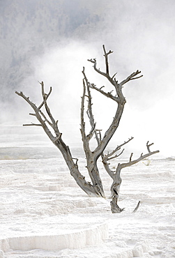 Petrified tree in New Blue Spring Terrace, limestone sinter terraces, steaming geysers, hot springs, Mammoth Hot Springs Terraces in Yellowstone National Park, Wyoming, United States of America, USA