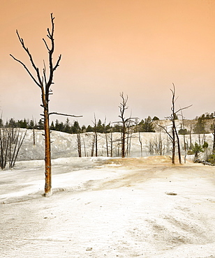 Fossilized, dead trees in the Angel Terrace, Upper Terraces, limestone sinter terraces, hot springs, Mammoth Hot Springs Terraces, Yellowstone National Park, Wyoming, United States of America, USA