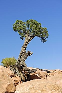 Utah Juniper (Juniperus osteosperma), growing between rocks, Grand Canyon, Arizona, USA, America