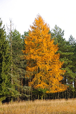 European larch (Larix decidua) in autumn