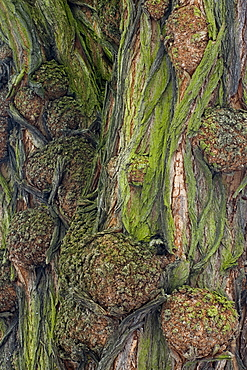 Bark of a Black Locust (Robinia pseudoacacia)
