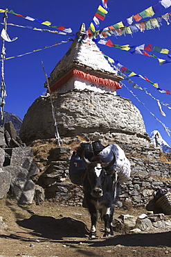 A packed Yak (Bos mutus) at a stupa with prayer flags in Mongla, Khumbu, Sagarmatha National Park, Nepal, Asia