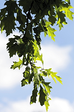 Turkey oak (Quercus cerris), leaves