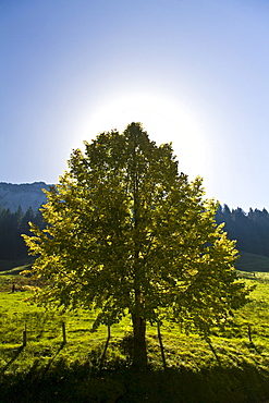 Tree in backlight, Canton Appenzell, Switzerland, Europe