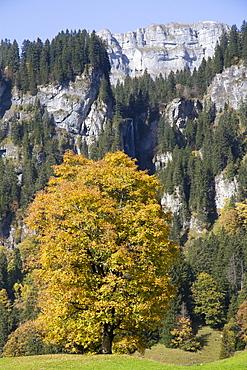 Sycamore (Acer pseudoplatanus), Braunwald, Glarus Alps, Canton Glarus, Switzerland, Europe