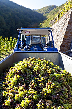 Tractor with grapes on the Moselle, Rhineland-Palatinate, Germany, Europe