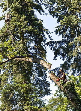 Lumberjack secured by a rope felling a tree piece by piece with a chainsaw, Germany, Europe