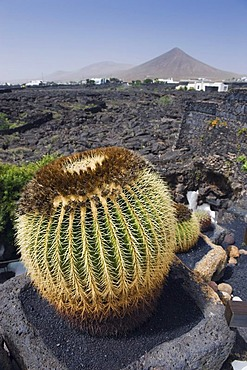 Ball cactus and volcanic, Fundacion Cesar Manrique, a former home of the artist in Tahiche Manrique, Lanzarote, Canary Islands, Spain, Europe