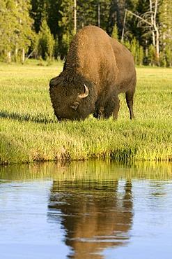 Bison (Bison bison), bull, Yellowstone National Park, Wyoming, USA, North America