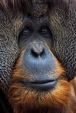 Bornean Orangutan (Pongo pygmaeus), male with prominent cheek flaps, portrait