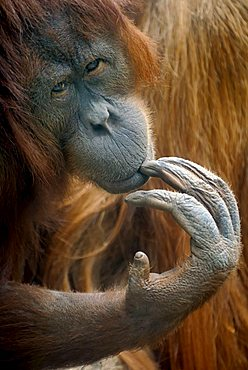 Bornean Orangutan (Pongo pygmaeus), thoughtful-looking female, portrait