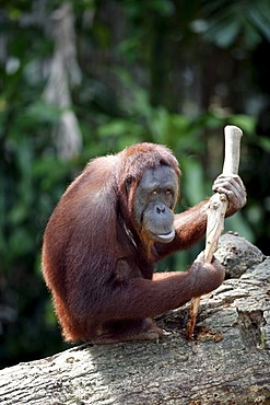 Borneo Orangutan (Pongo pygmaeus), Asia