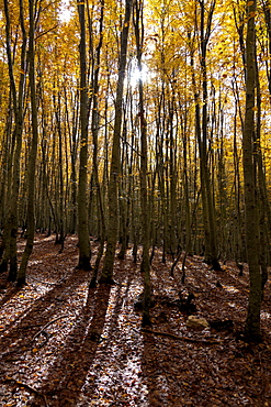Forest with Indian summer colouring, beech forest
