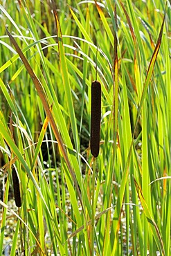 Common Bulrush, Broadleaf Cattail, Common Cattail (Typha latifolia)