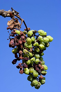Withered Pinot blanc, white Burgundy grapes