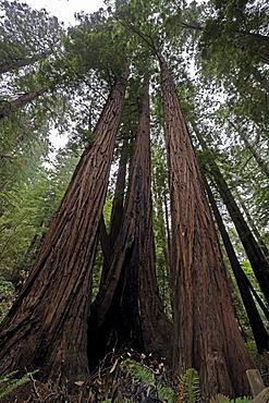 Vegetation and Coastal Redwoods (Sequoia sempervirens), Muir Woods National Park, California, USA, North America