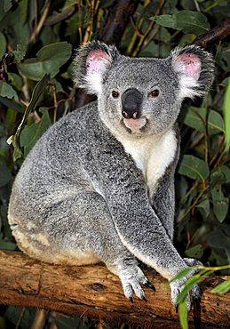 Koala (Phascolarctos cinereus) in eucalypt tree (Eucalyptus), Queensland, Australia