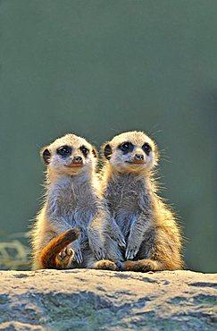 Meerkats (Suricata Suricatta), two young animals