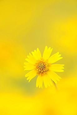 Huisache Daisy (Amblyolepis setigera), blooming, Fennessey Ranch, Refugio, Corpus Christi, Coastal Bend, Texas Coast, USA
