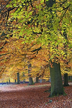 Beech tree (Fagus sylvatica) forest in autumnal colours