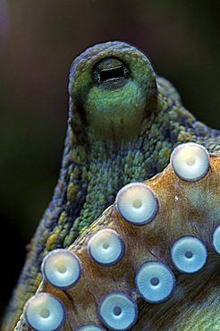 Octopus (Octopus vulgaris), eye and acetabula (suction appendages)