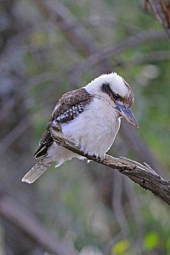 Laughing Kookaburra (Dacelo novaeguineae), Warrumbungle National Park, Australia