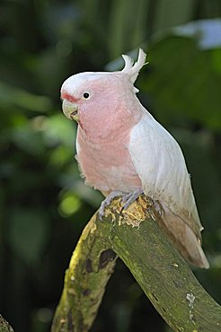 Major Mitchell's Cockatoo also known as Leadbeater's Cockatoo or Pink Cockatoo (Cacatua leadbeateri), rare bird, New South Wales, Australia