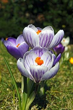 Flowering Dutch or Spring crocuses, croci (Crocus vernus, hybrids)