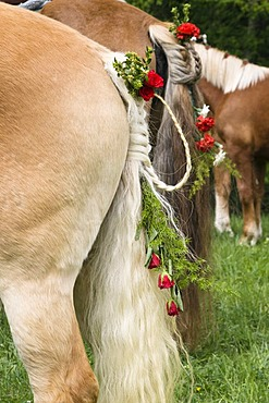 Decorated horse, braided tail, traditional Georgiritt, pilgrimage for St George, at the Penzberg Hubkapelle Chapel, Upper Bavaria, Germany, Europe
