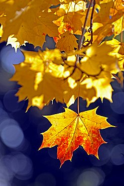 Autum colored Norway Maple leaves (Acer platanoides), backlight