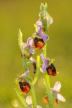Late Spider-orchid (Ophrys holoserica), backlit inflorescence after rain