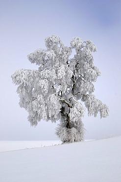 Silver Birch (Quercus robur) covered in thick hoar frost, Biosphaerengebiet Schwaebische Alb biosphere reserve, Swabian Alb, Baden-Wuerttemberg, Germany, Europe