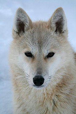 A white sled dog, husky, portrait